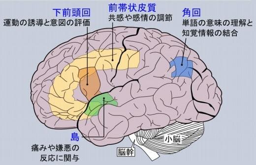 前帯状皮質(不安中枢)